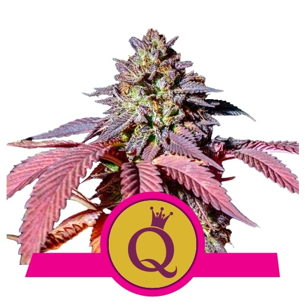 purple_queen